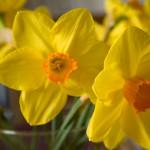 spring dafodil